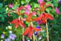 Sprekelia sp. Aztec Lily (2 bulbs)