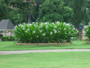 Hymenocallis 'Tropical Giant' - 1 Regular sized bulb
