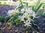 White Spider Lily (Lycoris albiflora)