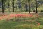 Red Spider Lily  (Lycoris radiada) 5 Bulbs -Southern Heirloom Triploid