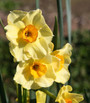 (Pack of 10) The rich colors of the the Golden Dawn daffodil has a striking effect in the gray gardens of late winter.  Mature clumps send up stalks with 3 or more yellow petaled gold cupped flowers each. Zones 7-10