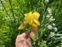 Old Fashioned Yellow Bearded Iris