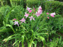 They mix well with other summer perennials like salvia.