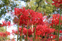 Red Spider Lily  (Lycoris radiada) 3 bulbs -Southern Heirloom Triploid