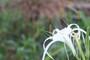 Hymenocallis maximiliani (1 large bulb)