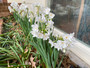 Paperwhite 'Ziva' Narcissus SPECIAL PRICE--3 for $8!