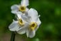 Narcissus poeticus 'Pheasant's Eye'