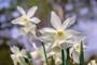"""Narcissus """"Thalia"""""""