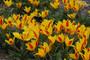 Tulip Tschimganica