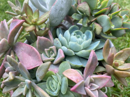 Succulent Arrangement In White 10cm Tall Metal Bucket - PICK UP or LOCAL COURIER ONLY