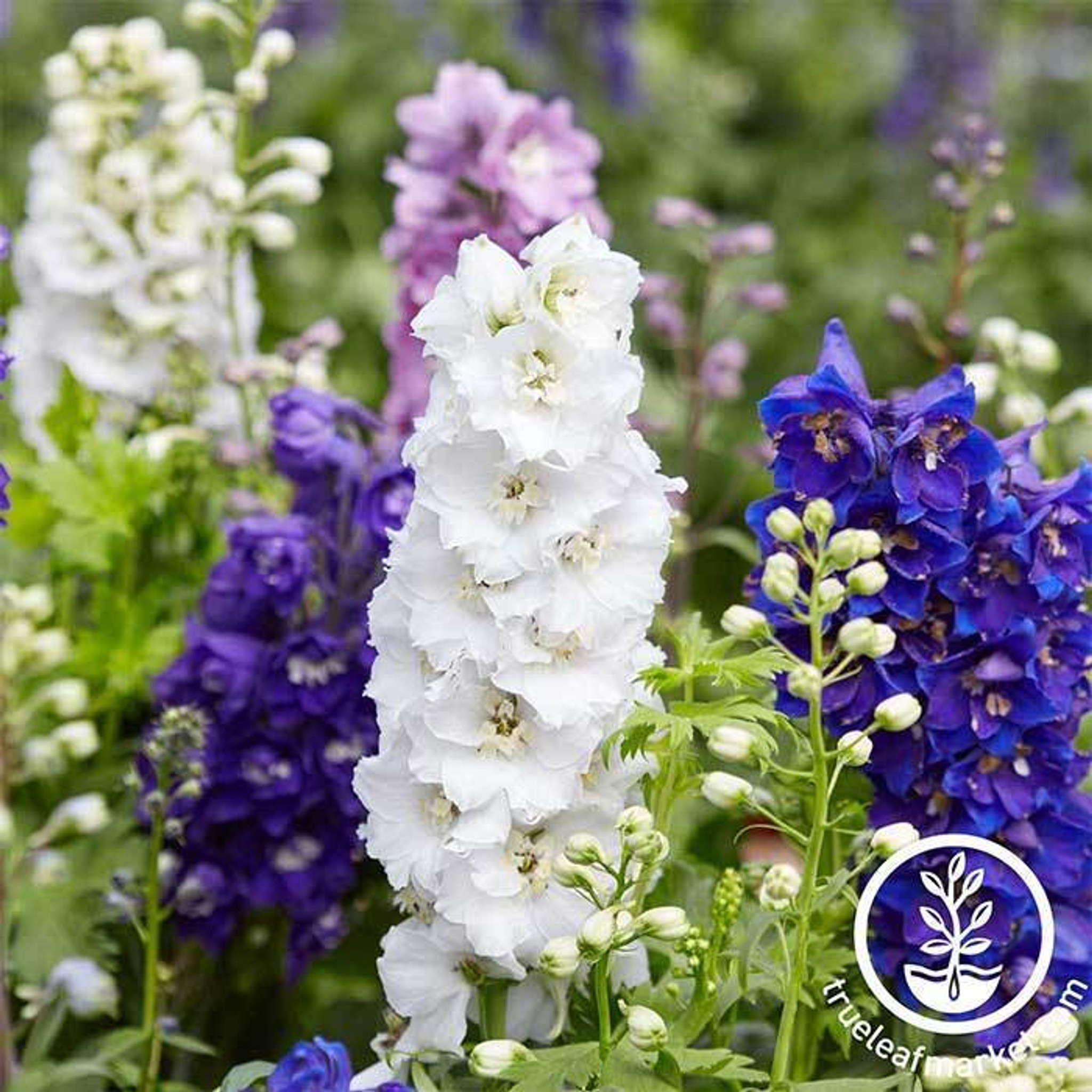 Flowers of the Month July
