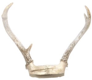 Vintage Small Four Point Whitetail Buck Deer Antlers Rack Horns