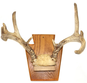 Vintage Gnarled 9 Point Whitetail Buck Deer Antlers Rack on Wall Plaque