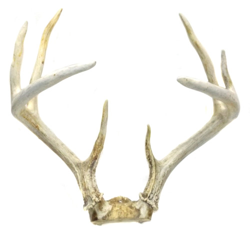 Vintage Tall 8 Point Whitetail Buck Deer Antlers with 13 Inch Spread