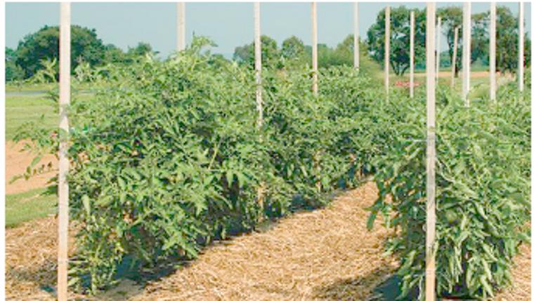 Treated Tomato Stakes (Honduran Pine, bundle of 25)