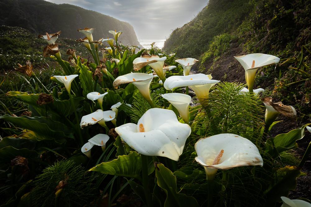 Calla Lilies - Big Sur