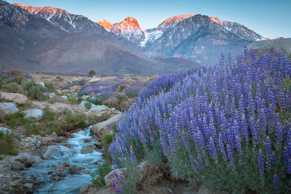 Lupine - Eastern Sierra