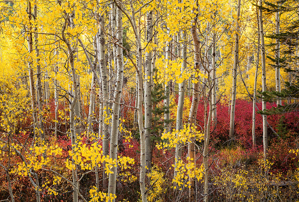 Changing Aspens - Lee Vining Canyon