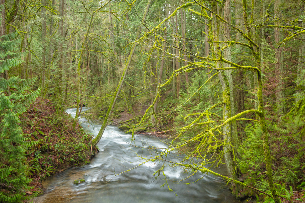 Misty Forest along the Whatcom Creek