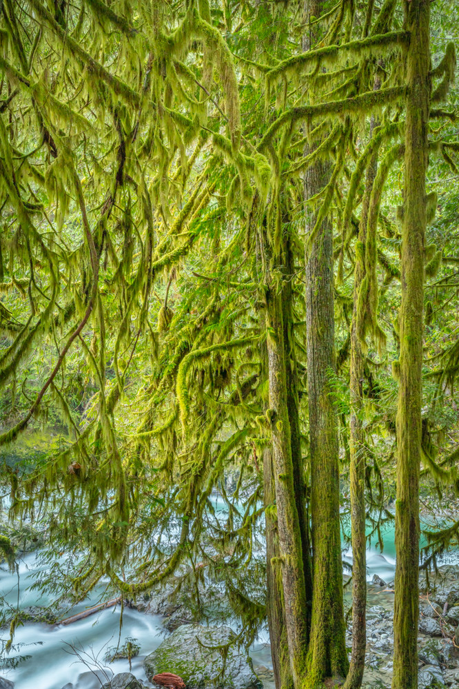 Trees and Moss - Nooksack River