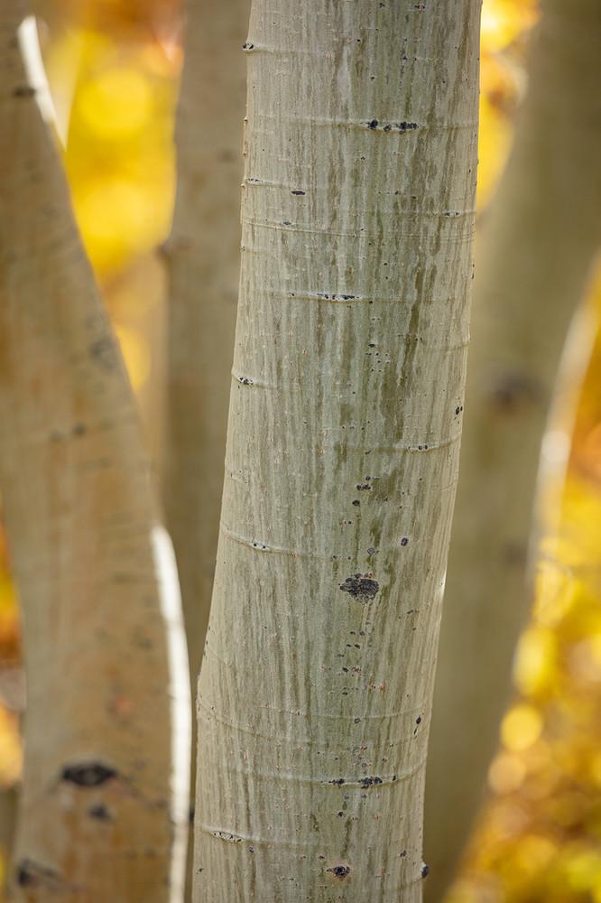 A Hidden Aspen Grove near Mammoth