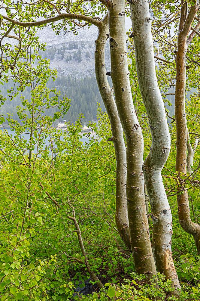Rock Creek Springtime Aspens