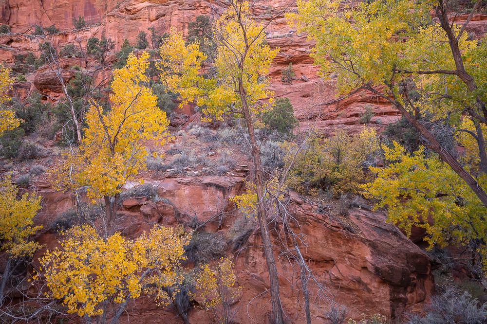 Autumn Aspens near Boulder, UT