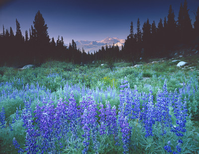 Mount Conness and Lupin along Budd Creek