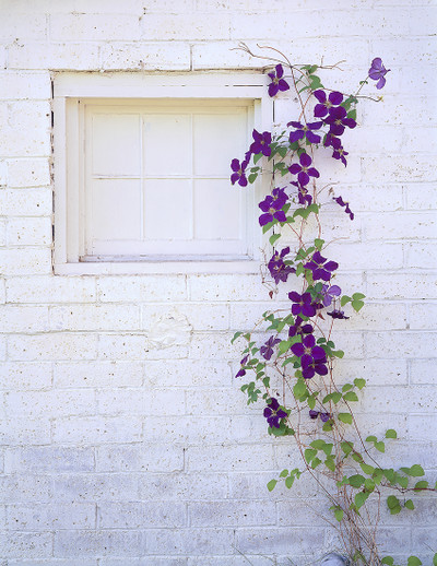 Fobes 40 Clematis
