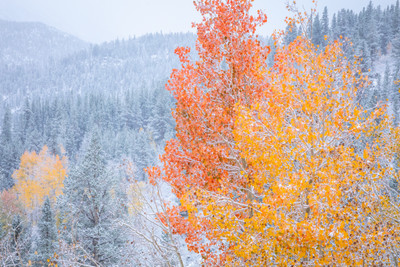 Snow, Autumn Aspen, Eastern Sierra