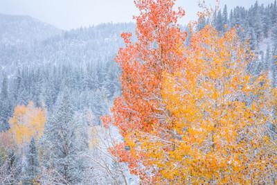 Snow, Autumn Aspen, Eastern Sierra