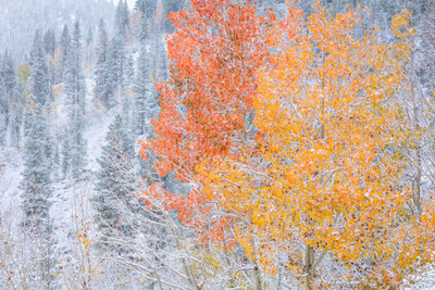 Autumn Aspen and Snow