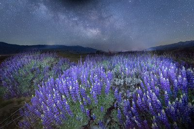 Lupines and the Milky Way in the Owens Valley
