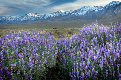 Lupines and Mount Williamson