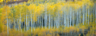 Classic Aspens of the San Juan Mountains