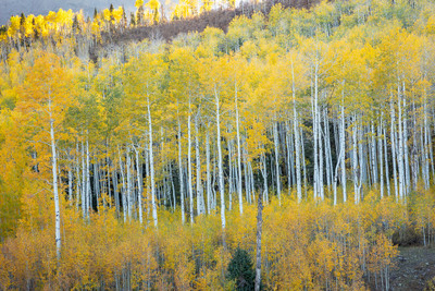 Classic Aspens along the San Juan Mountains