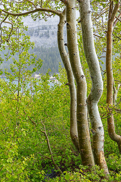 Rock Creek Springtime Aspens