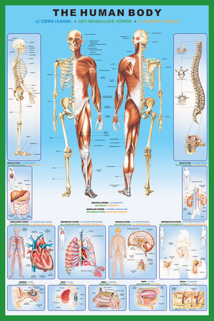 Image for The Human Body Poster