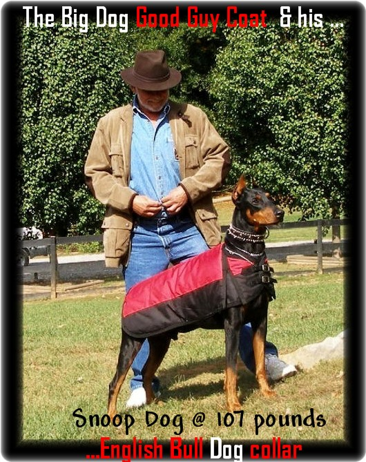 Doberman in his Coat Snoopy & Barrie at 107 lb