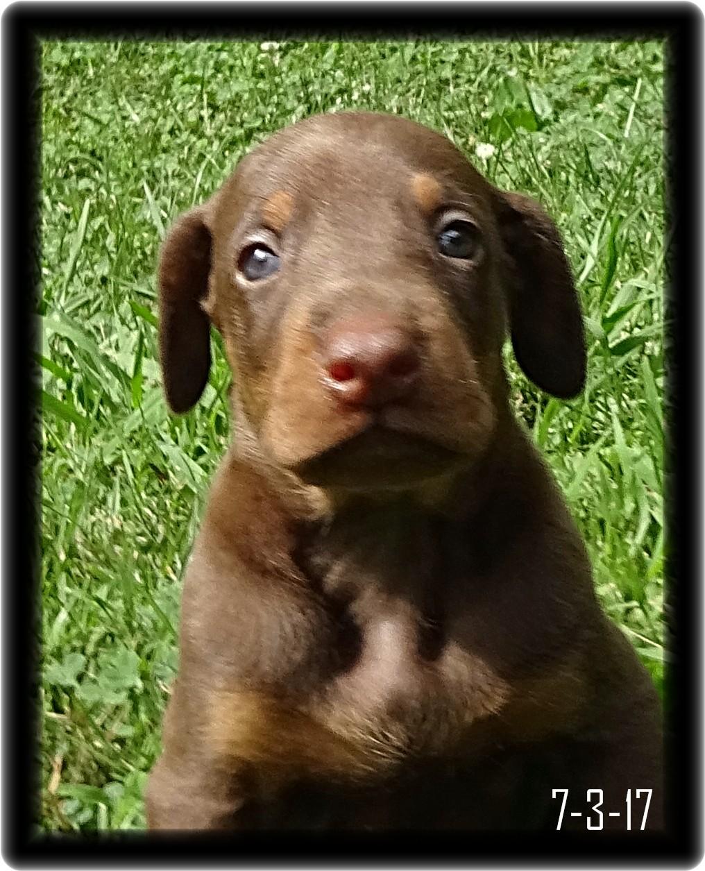 Hi I am Elwood a Dobe Pup