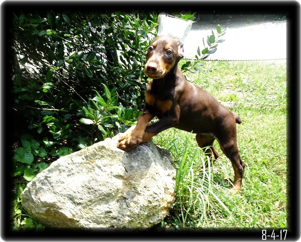 Heidi in a Pretty Doberman Pose for Proof she is a Show dog at heart.