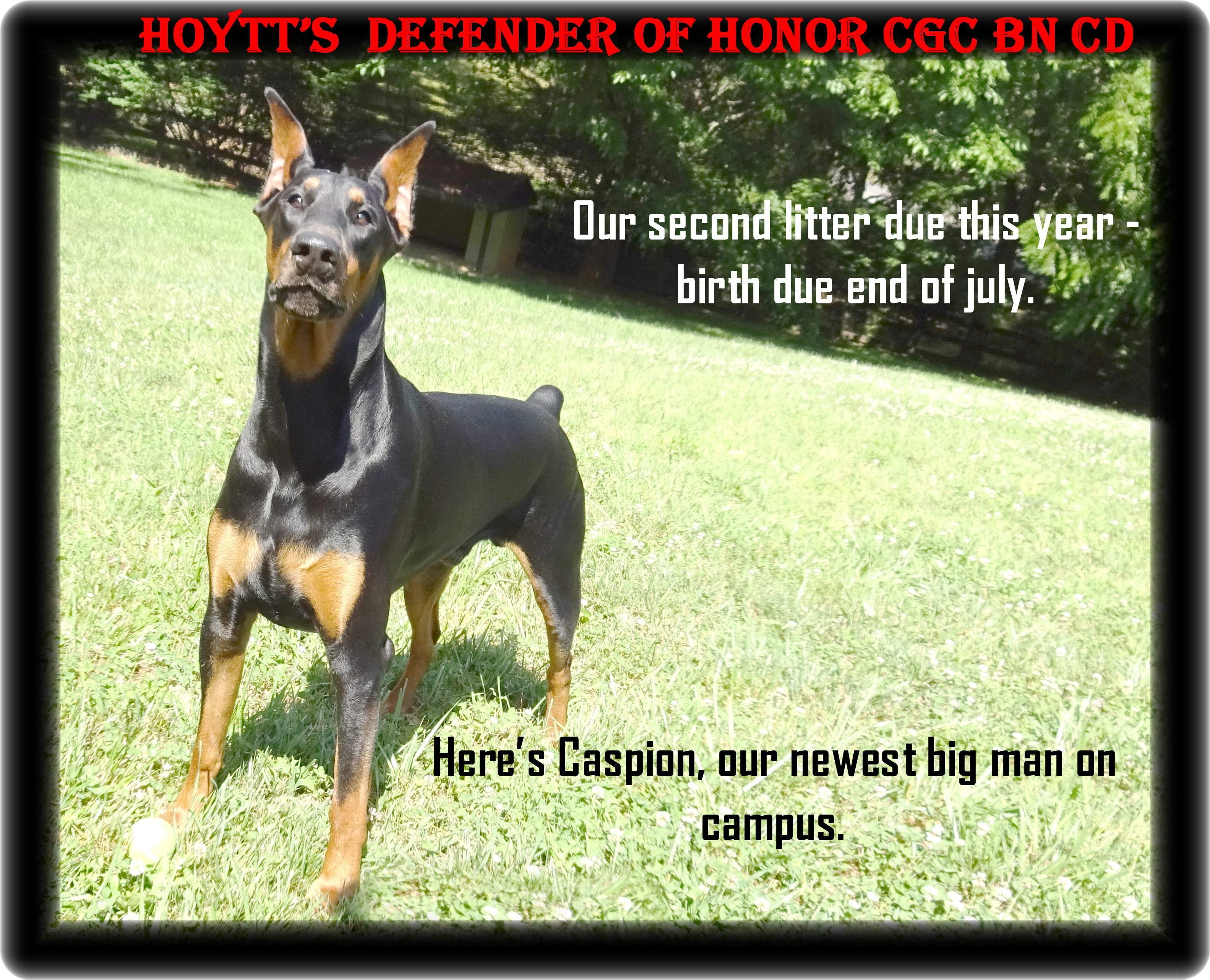 Caspian - Presidents Choice  - formally Hoytts Defender of Honor BN CD CGC TDI/  Mr. Hoytt's  next generations boy and second in command to  his London. see his early training video at the end of his photos