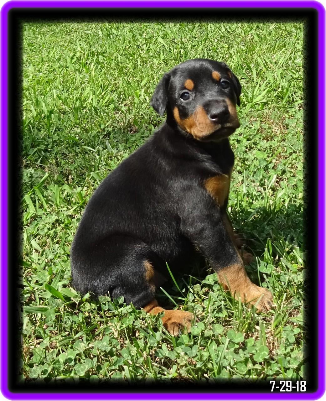 Minda - Star baby & Winston born  6-29-18  finished her Grand Victor Program now  in Charleston SC ... formally Hoytts Brillian Star BN CD CGC in GV program
