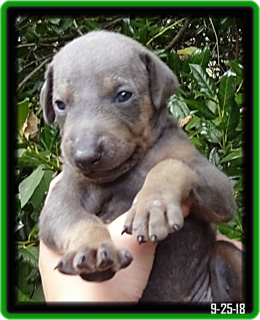 Indy Zoey pup...  Laguna Niguel CA - will finished his SP2 program.