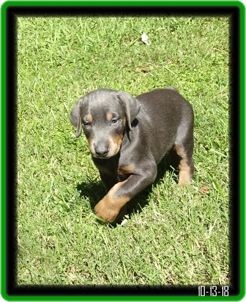 Indy Zoey pup... reserved /  Laguna Niguel CA - will finish his SP2 program first.