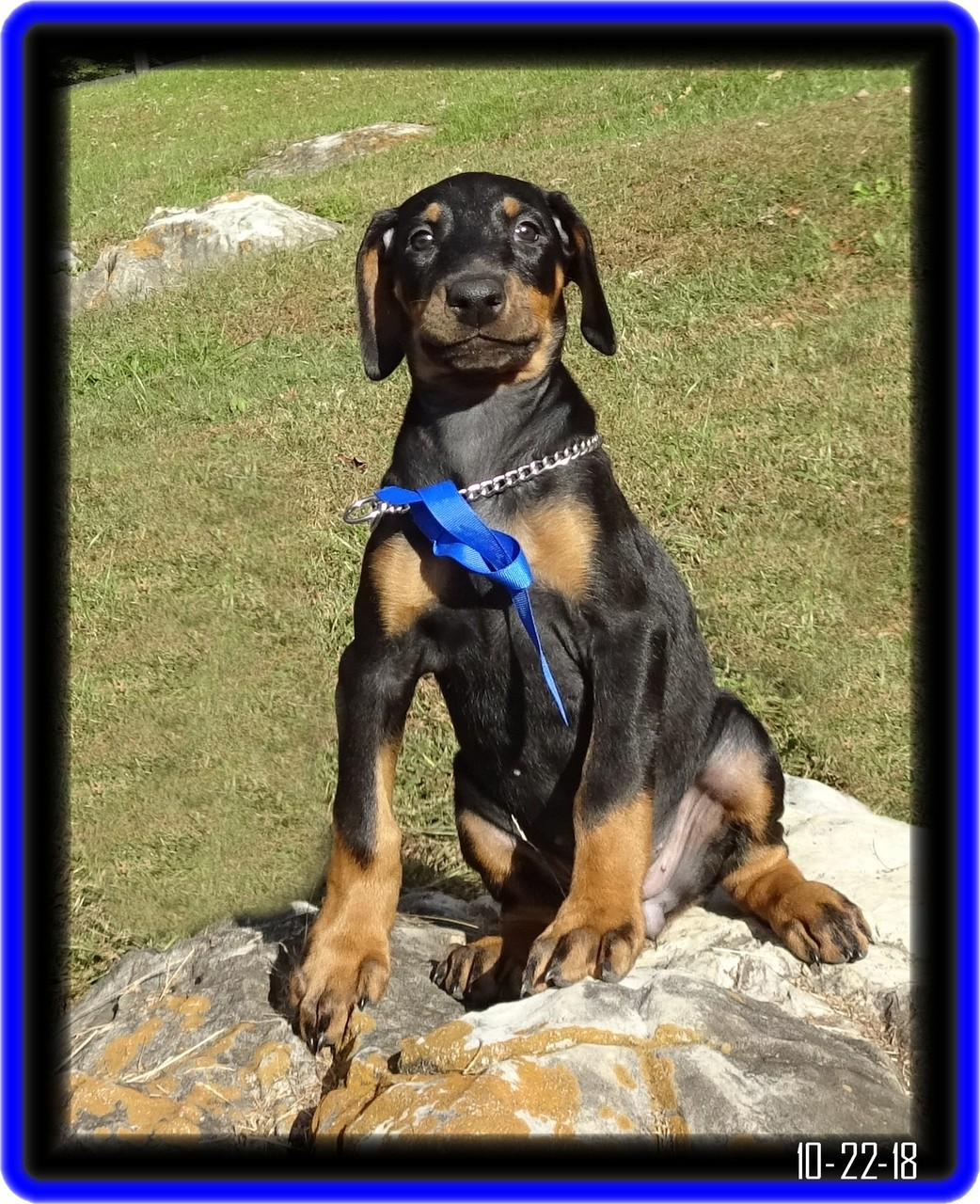 Raven - Zoey & Max pup / placed - selected for IPO competition ...Swansea SC
