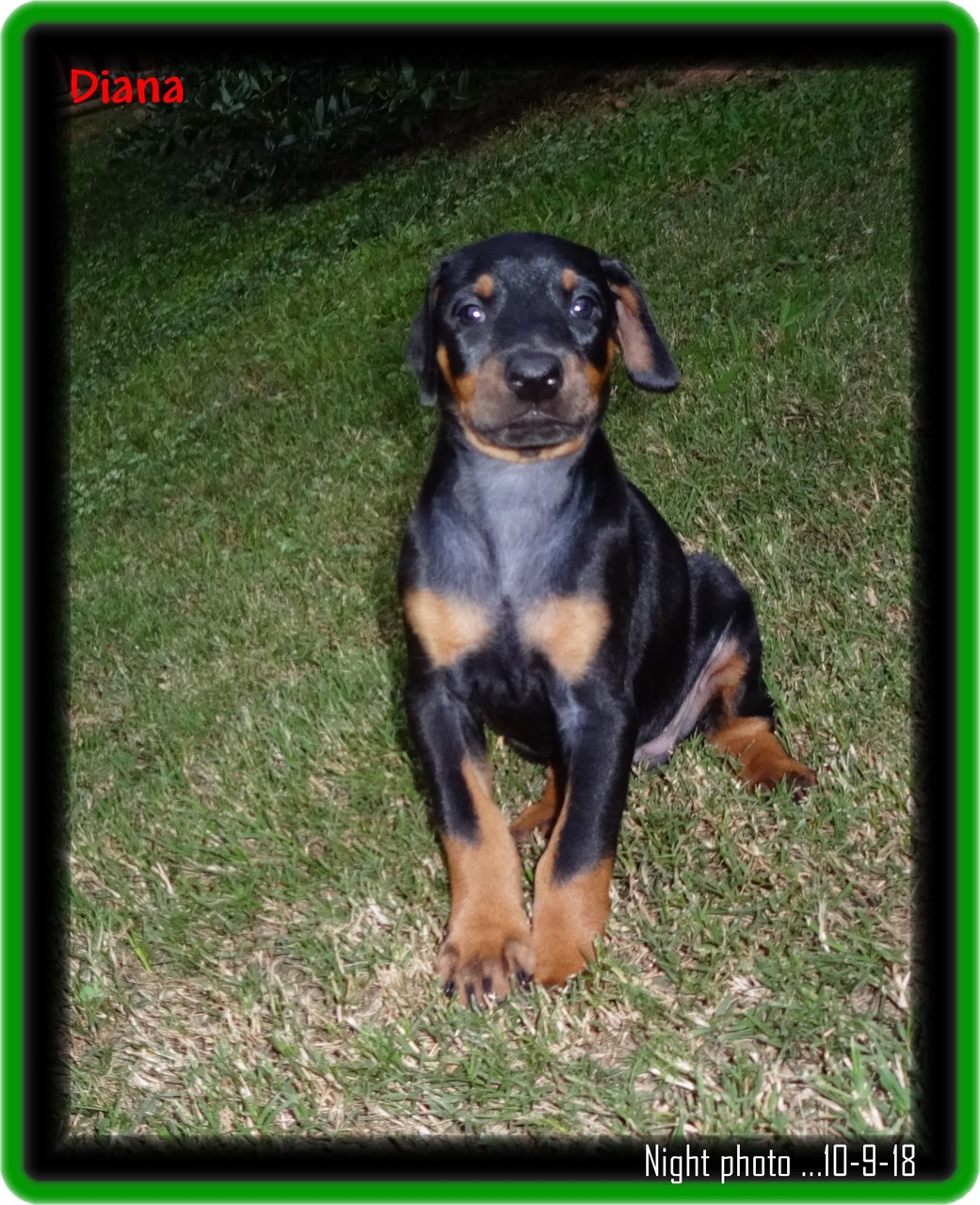 Brandy ... Zoey & Max pup / finished her training - established clients drove inn from  Dallas.