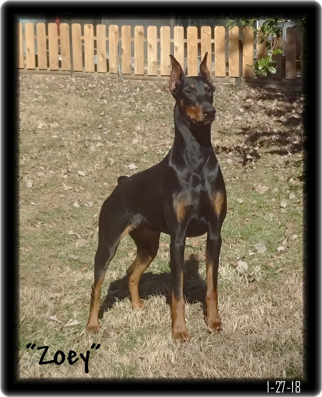 Jax was Gary a Zoey & max  pup  born 9-3-18 home after training CYA ...Vestal NY