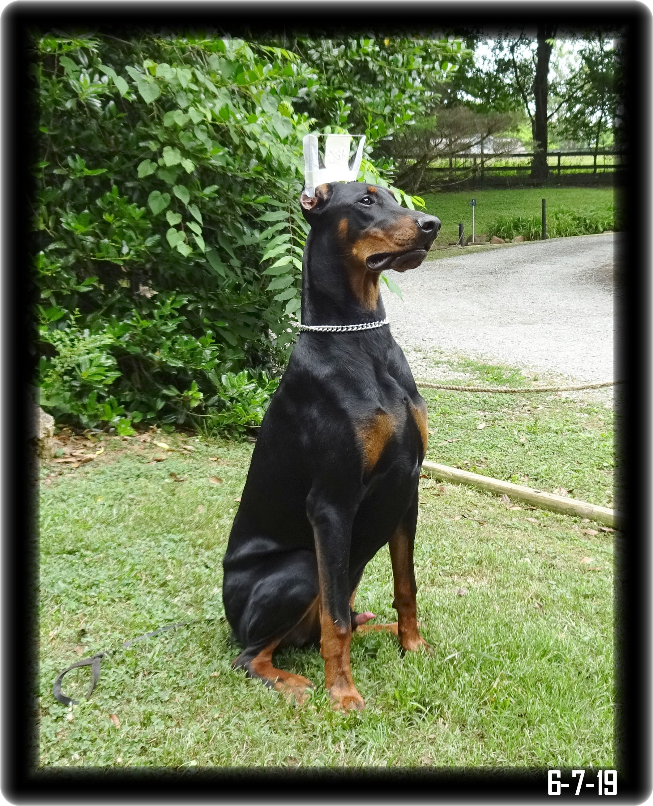Jax was Gary a Zoey & max  pup  born 9-3-18 in training CYA Level 2 CGC