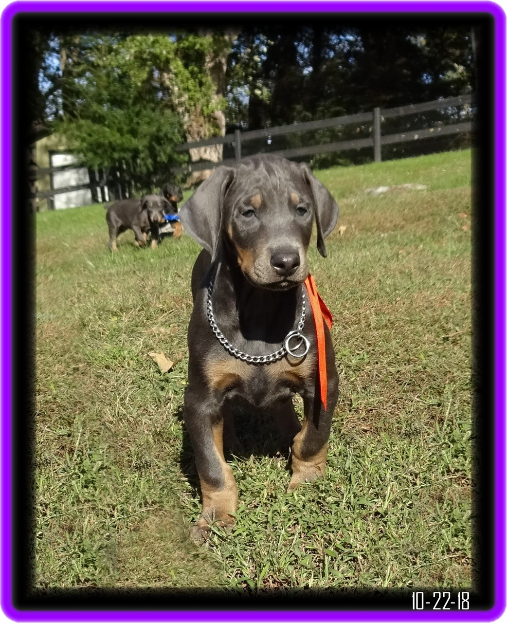 John -Zoey blue pup / Available